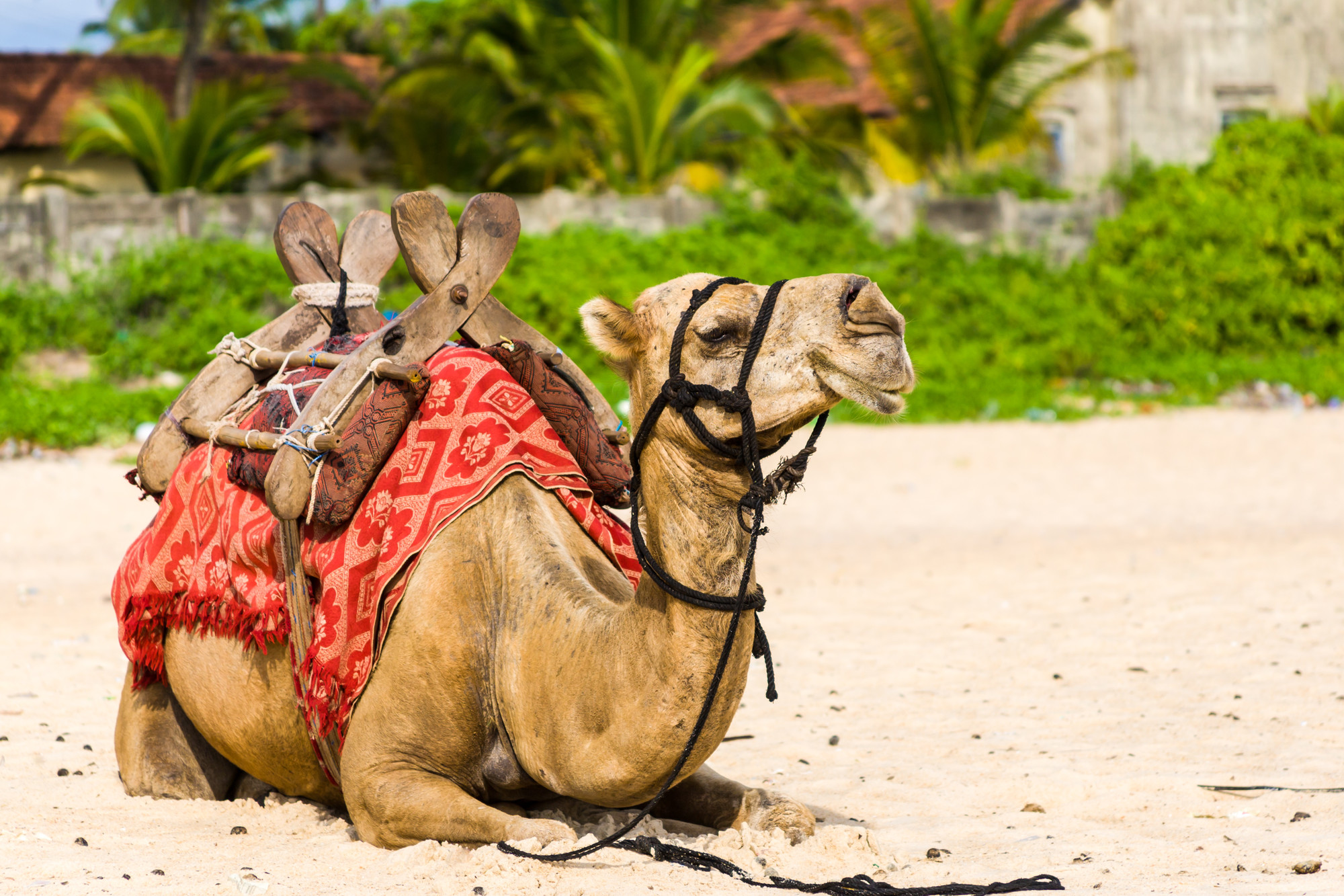 Marocko kamel